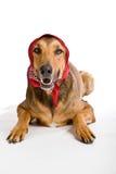 Perro como el lobo disfrazó como poco capo motor de montar a caballo rojo Imagenes de archivo