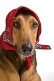 Perro como el lobo disfrazó como poco capo motor de montar a caballo rojo Foto de archivo