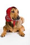 Perro como el lobo disfrazó como poco capo motor de montar a caballo rojo Imágenes de archivo libres de regalías