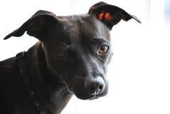 Perro como modelo de la cámara Imagen de archivo