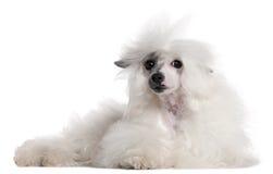 Perro con cresta chino, 1 año, mintiendo Imágenes de archivo libres de regalías
