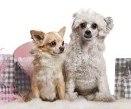 Perro con cresta chino, 2 años, y chihuahua Foto de archivo