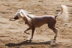 Perro con cresta chino Foto de archivo