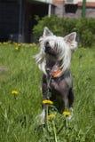 Perro con cresta chino Fotografía de archivo libre de regalías