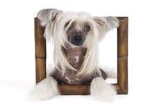 Perro con cresta chino Fotos de archivo