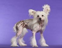 Perro con cresta chino, 9 meses, colocándose Imágenes de archivo libres de regalías