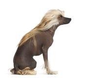 Perro con cresta chino, 9 meses, sentándose Imagenes de archivo