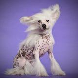 Perro con cresta chino, 9 meses, sentándose Imagen de archivo
