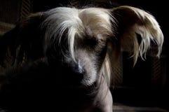 Perro con cresta chino imagen de archivo libre de regalías