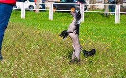 Perro con cresta chino bajo comando fotos de archivo