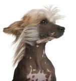 Perro con cresta chino con el pelo en el viento Foto de archivo