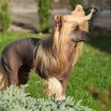 Perro con cresta chino en el jardín fotos de archivo libres de regalías