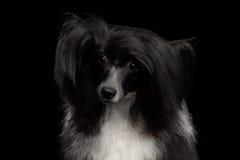 Perro con cresta chino en fondo negro Imágenes de archivo libres de regalías