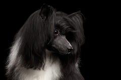 Perro con cresta chino en fondo negro Foto de archivo