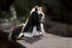 Perro con cresta chino en roca Parque verde en fondo fotografía de archivo