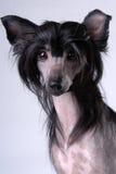 Perro con cresta chino negro Fotos de archivo