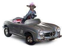 Perro con cresta chino que conduce el convertible Imagen de archivo