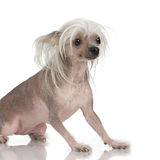 Perro con cresta chino - sin pelo foto de archivo