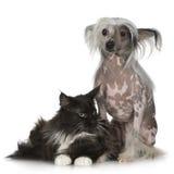 Perro con cresta chino - sin pelo y coon de Maine Foto de archivo libre de regalías