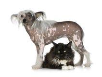 Perro con cresta chino - sin pelo y coon de Maine Fotografía de archivo