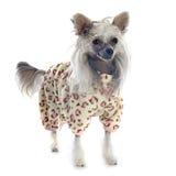 Perro con cresta chino vestido Imágenes de archivo libres de regalías