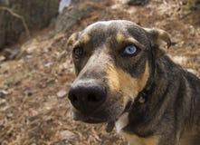 Perro con dos diversos ojos coloreados marrón y azul Foto de archivo