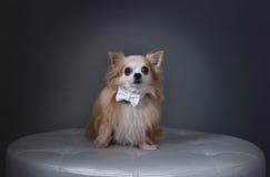 Perro con el arco blanco Imagen de archivo