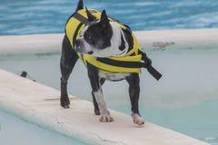 Perro con el chaleco salvavidas en la piscina Fotos de archivo