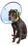 Perro con el cono y el vendaje Foto de archivo