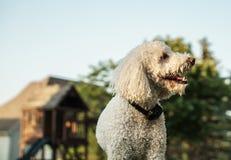 Perro con el cuello de la corteza en patio trasero Imagen de archivo libre de regalías