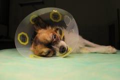 Perro con el cuello después de la cirugía Imagenes de archivo