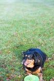 Perro con el disco volador Fotos de archivo libres de regalías