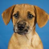 Perro con el fondo azul Foto de archivo libre de regalías