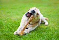 Perro con el hueso Fotografía de archivo libre de regalías