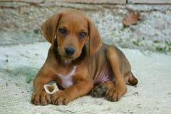 Perro con el hueso Fotos de archivo libres de regalías