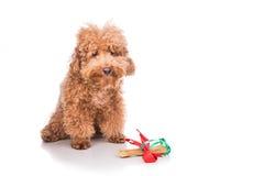 Perro con el hueso del regalo de la Navidad envuelto en cinta Imagenes de archivo