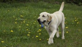 Perro con el juguete Imagen de archivo libre de regalías
