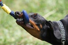 Perro con el juguete Foto de archivo libre de regalías