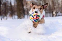 Perro con el juguete colorido que juega en nieve profunda Fotos de archivo libres de regalías