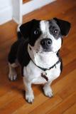 Perro con el ojo azul Imagen de archivo