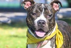 Perro con el pañuelo amarillo Foto de archivo