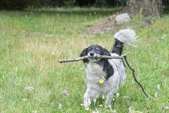 Perro con el palillo fotografía de archivo