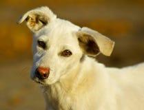 perro con el pelo blanco corto y los ojos morados Fotos de archivo libres de regalías