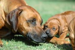 Perro con el perrito Imagenes de archivo