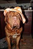 Perro con el sombrero Imágenes de archivo libres de regalías