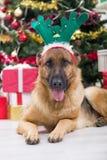 Perro con el sombrero de las astas de los ciervos en Nochebuena, el árbol de navidad y g Foto de archivo