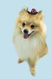 Perro con el sombrero de vaquero Imágenes de archivo libres de regalías
