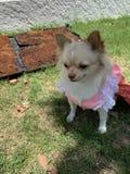 Perro con el vestido rosado foto de archivo