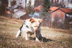 Perro con incapacidades en una silla de ruedas Fotografía de archivo