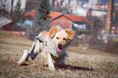Perro con incapacidades en una silla de ruedas Imagen de archivo libre de regalías